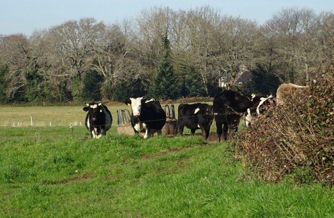 Troupeau hétéroclite de vaches