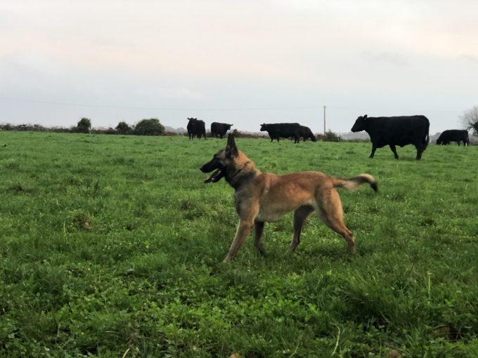 Le chien... et le troupeau de Black Angus