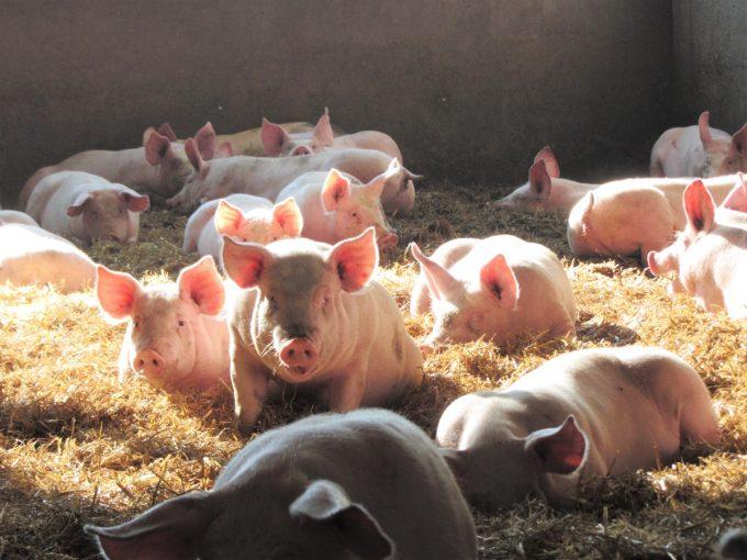 La Ferme Le Saint - Porcs