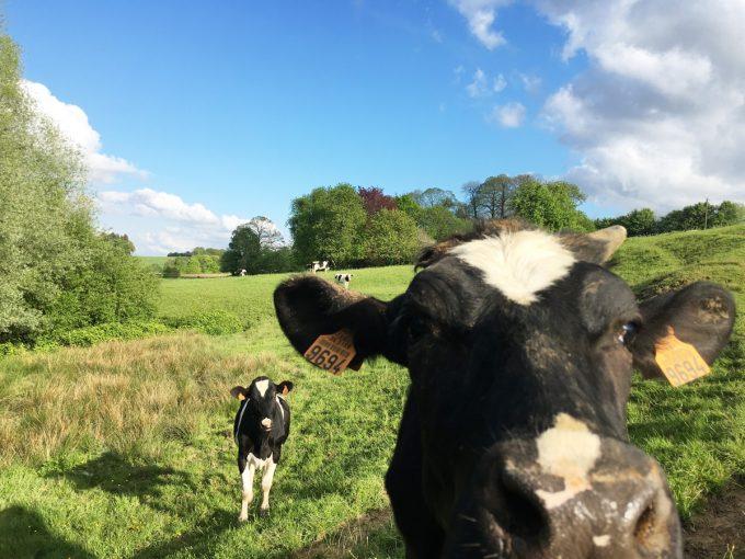 La Ferme les 4 Chemins - Vache 1