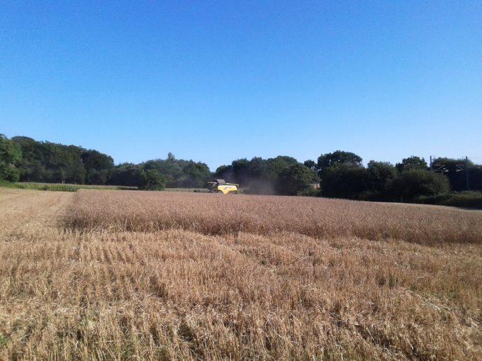 Nos champs de blé