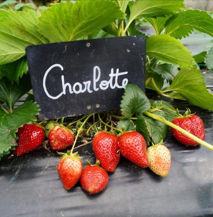 Cueillette de fraises possible