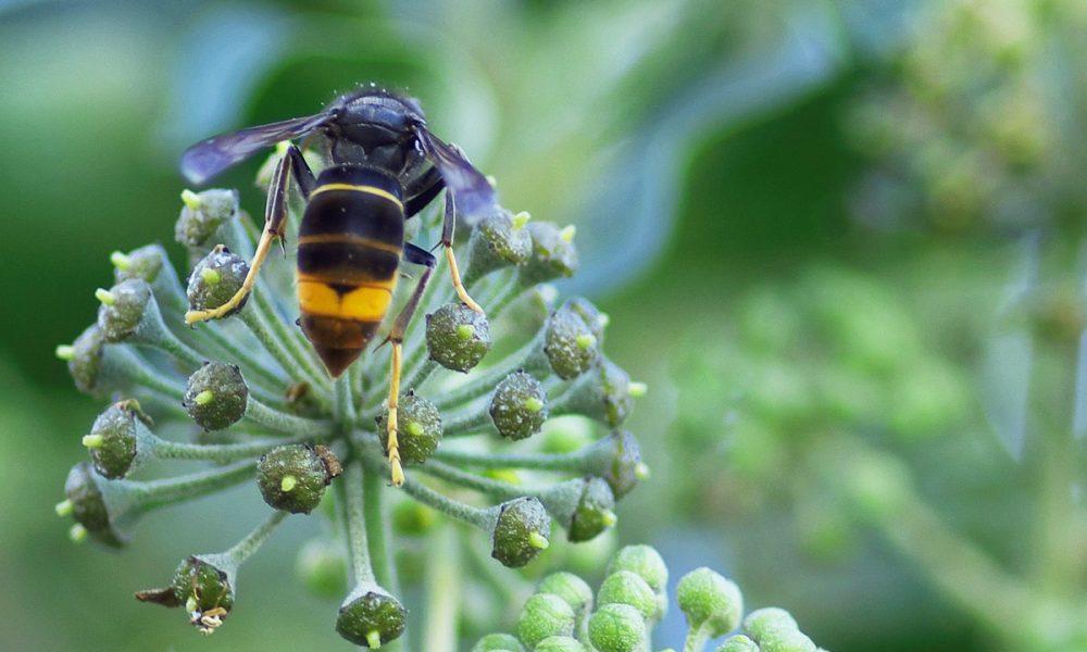 Vrai / Faux sur le frelon asiatique – Pour tout connaître de cet insecte nuisible