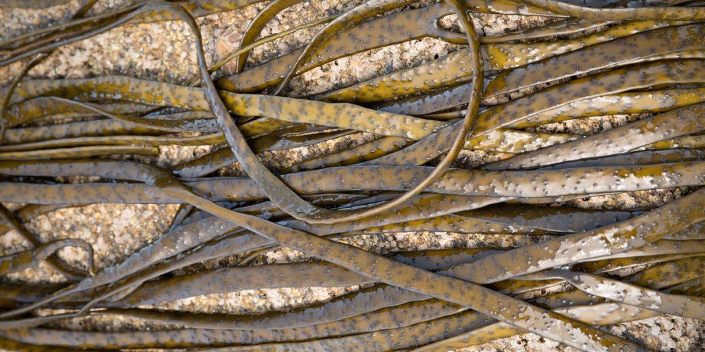 Haricot de mer : une algue brune aux nombreux bienfaits