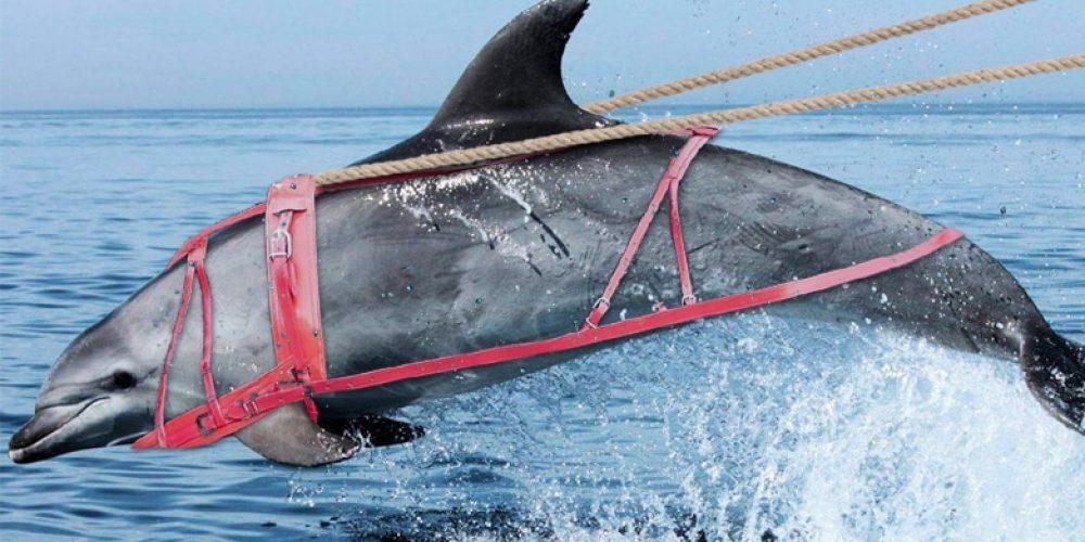 Transport maritime insolite : des dauphins tractent une barge à l'Île de Sein !
