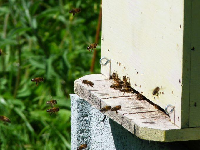 Les abeilles pollinisent et se nourrissent du pollen des fleurs