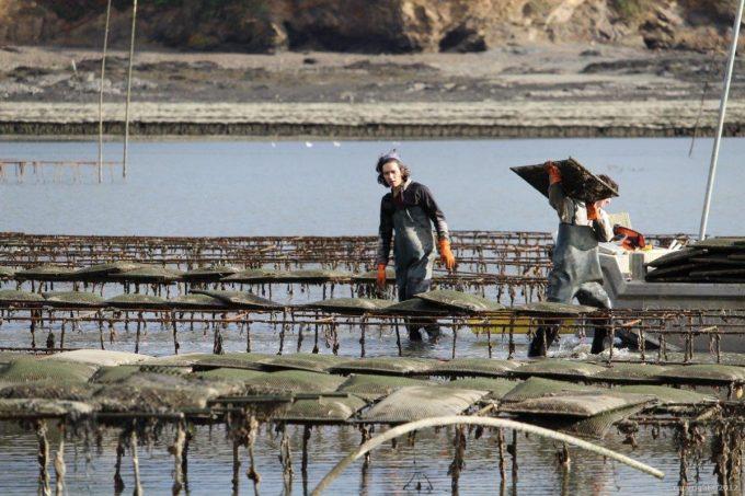 Travail dans les parcs à huîtres