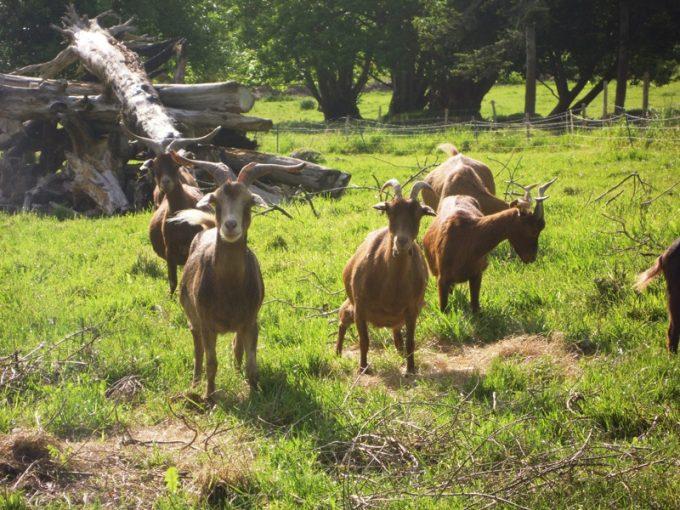 Chèvres de la ferme de Douarou Koad Kimerc'h