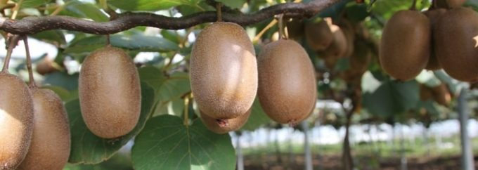 Plusieurs variétés de kiwi