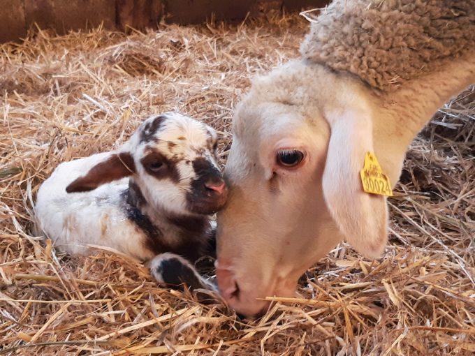 La Bêle Listoir - agneau et brebis