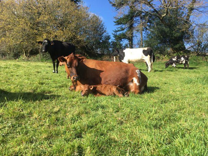 Boudig' Laezh, La Ferme aux 10 Vaches
