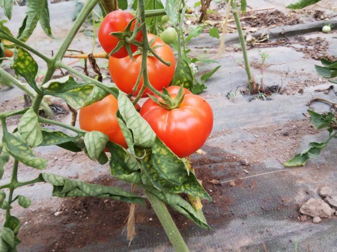 Tomates de serre (non chauffée !)