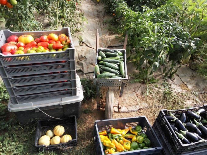 Légumes fraichement cueillis