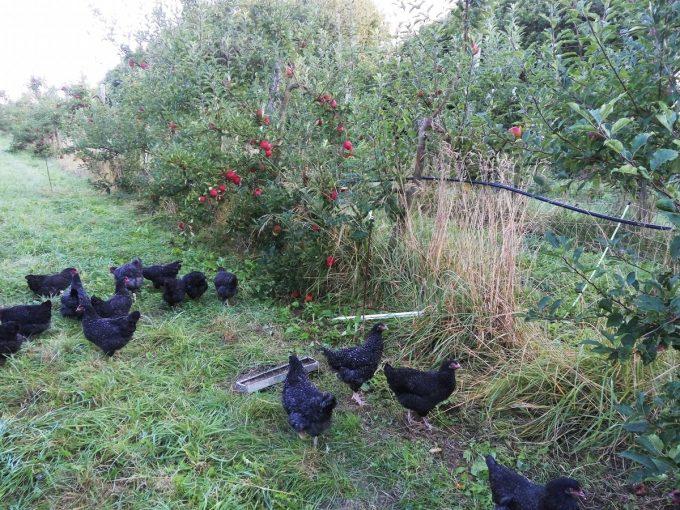 Les poules dans les vergers