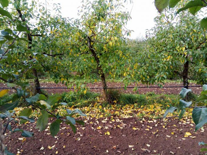 Verger de pommes, l'automne approchant