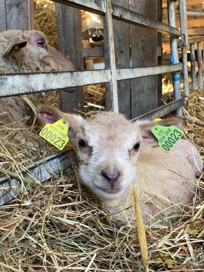 La Ferme de Trénube - agneaux