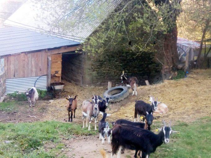 La Ferme de Trofalher - chèvres à la ferme