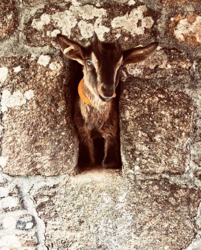La Ferme de Trofalher - chèvre