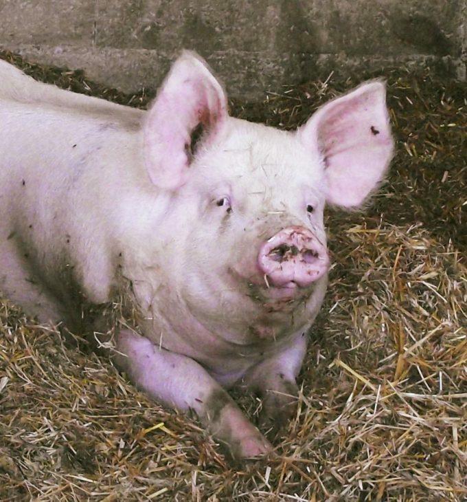 Cochon élevés sur la paille