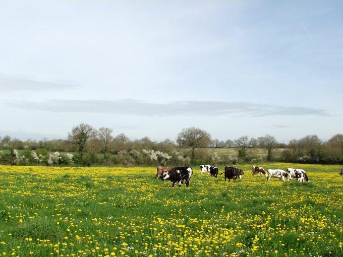 Vaches en pâturage