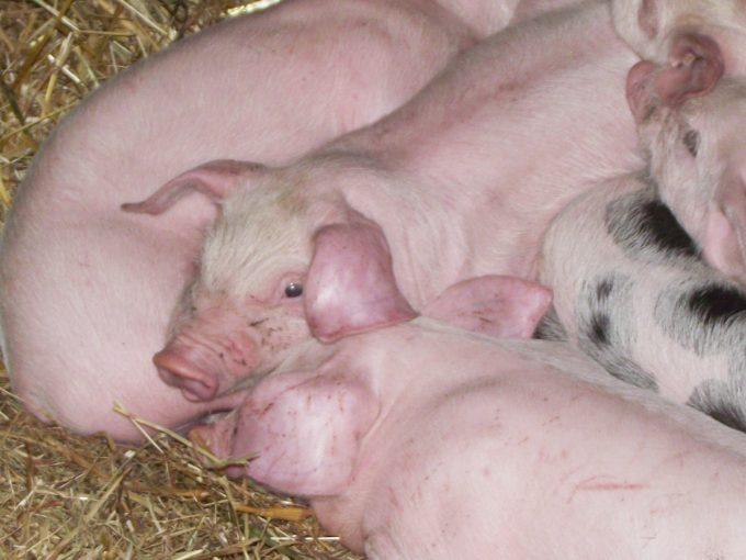 Cochons élévés sur la paille avec leur mère