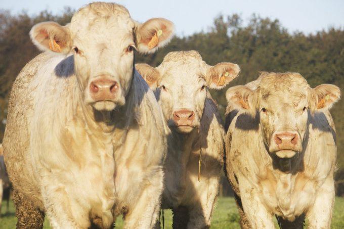 Vaches charolaises élevées en plein air