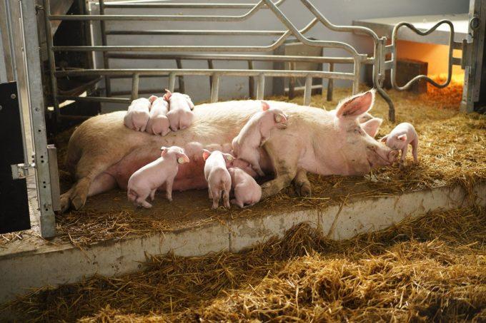 Le Cochon d'Où Don - truie et porcelets