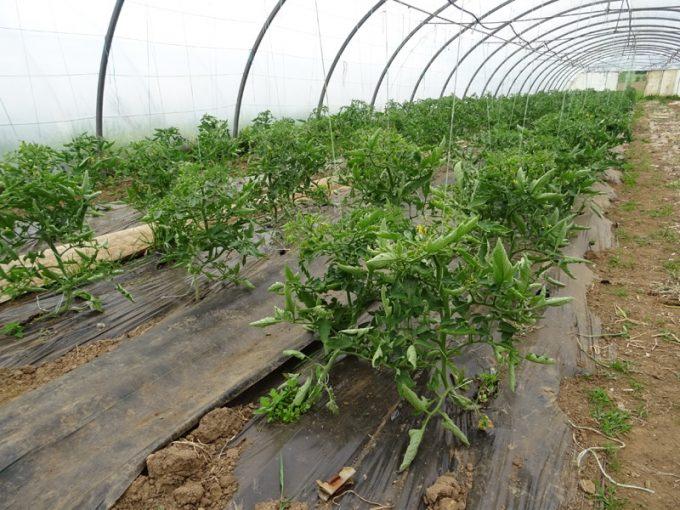 Tomates en serre, mais pleine terre ! ;)