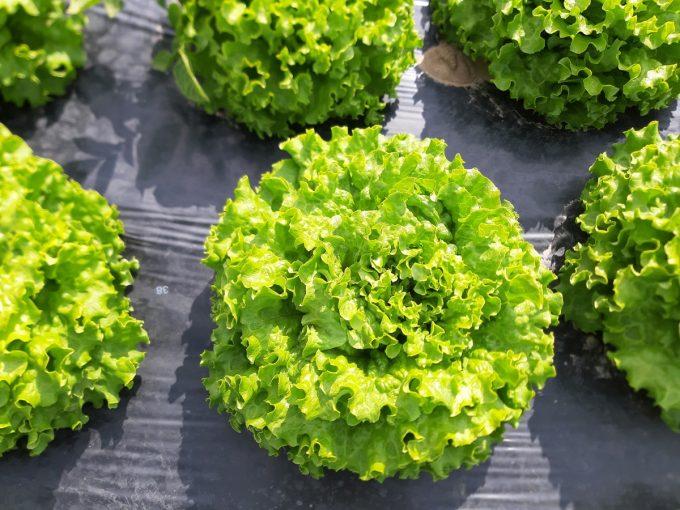 Salade de péninsule