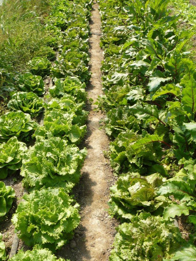 Salades - plus de 25 variétés