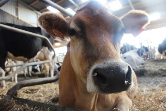Une vache Jersiaise