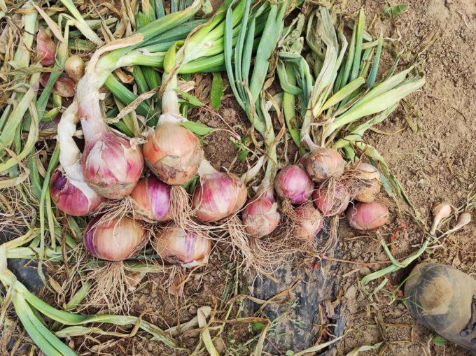 Le Marché de Traon Lan - oignons roses bio