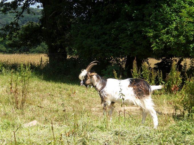 Les chèvres entretiennent les talus