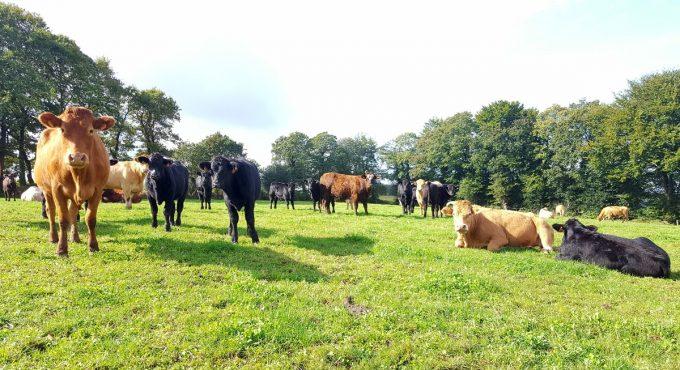 Vaches au grand air