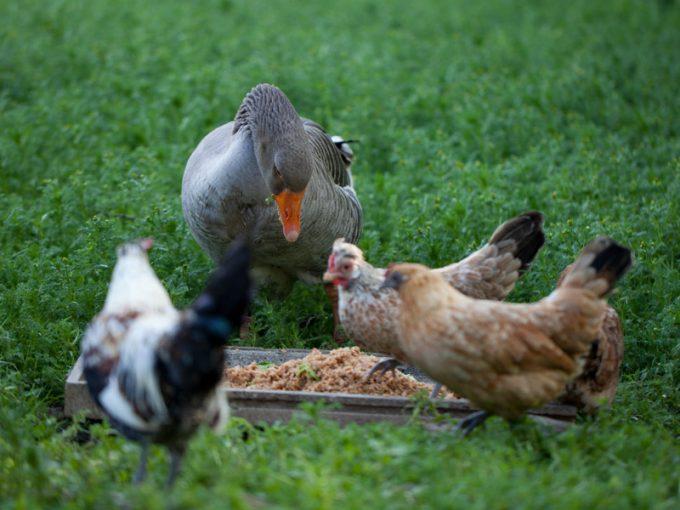 Les poules et oies du jardin sauvage