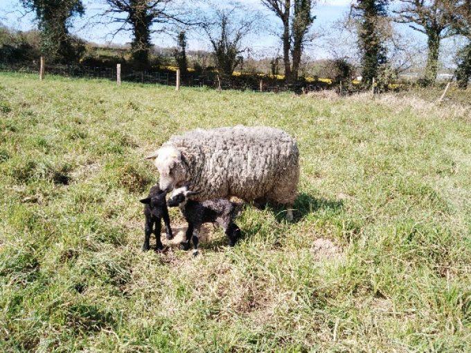 La P'tite Ferme - agneaux