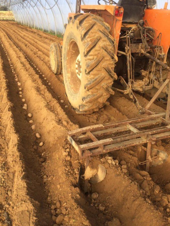 Plantation des pommes de terre primeures