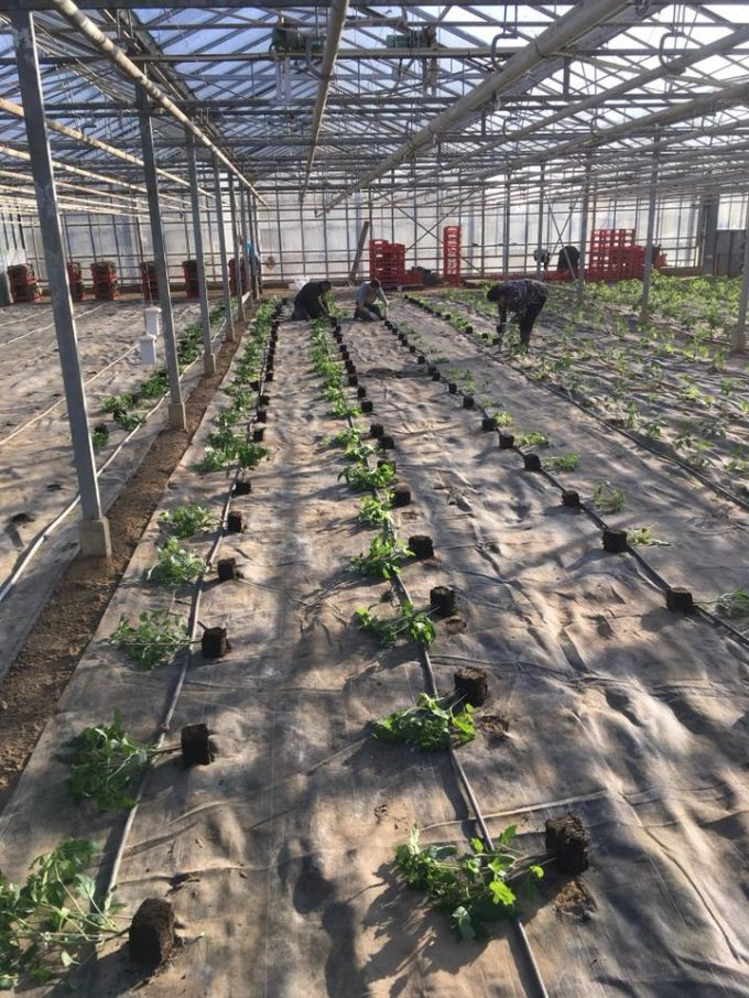 Plantations sous serres