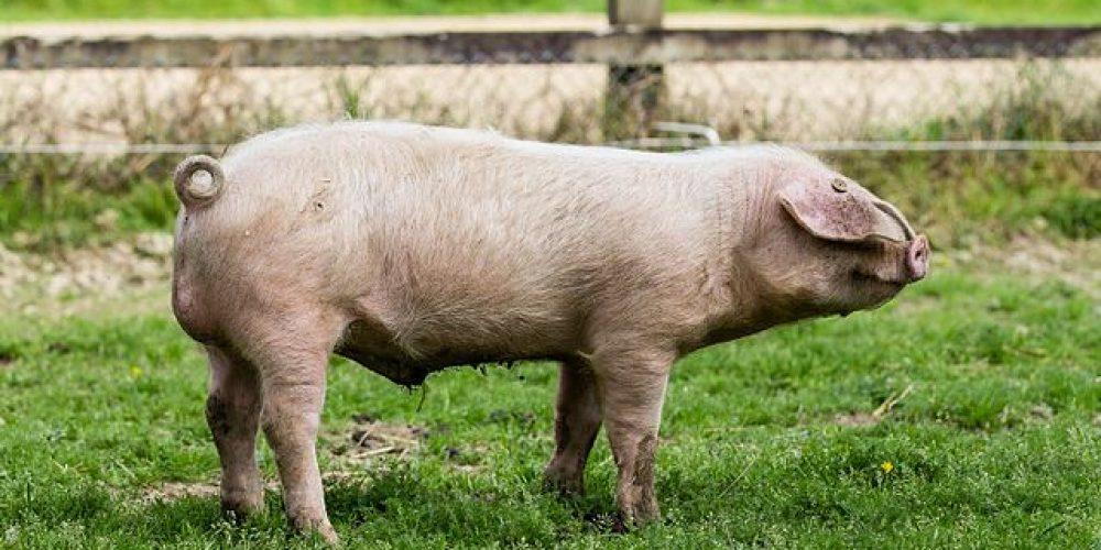 Le Porc Blanc de l'Ouest – Race ancienne