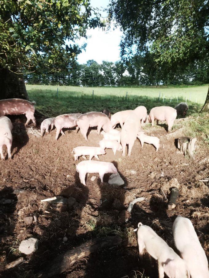 Porcs Blanc de l'Ouest