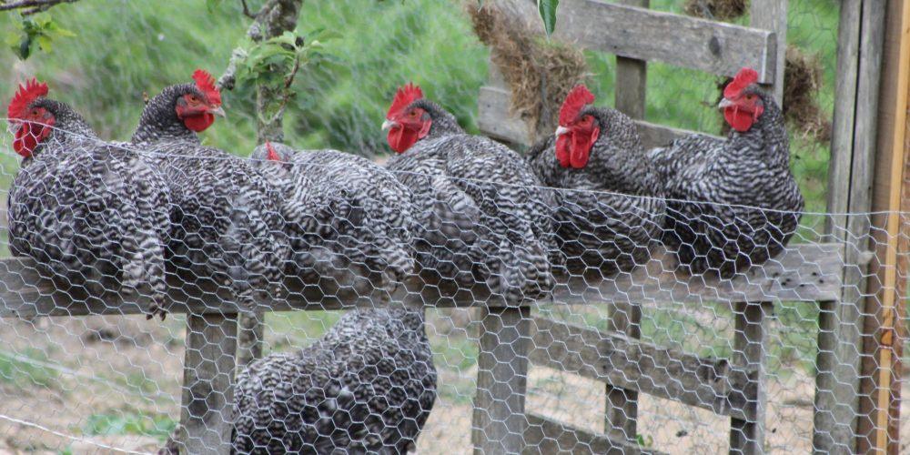Portes Ouvertes au «Jardin Naturel» à Dinéault : 100% Poule !