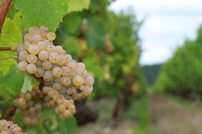 Raisins blancs des vignobles Chéneau