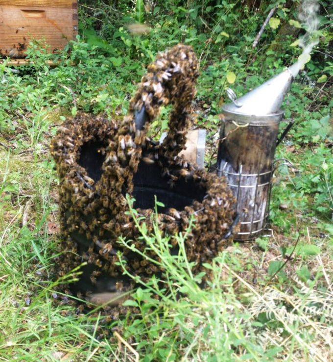 Reines d'Armorique - panier d'abeilles