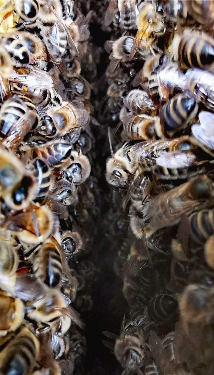 Reines d'Armorique - abeilles