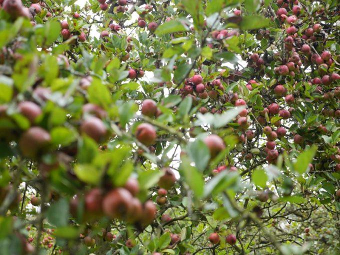 Nombreuses variétés de pommes locales