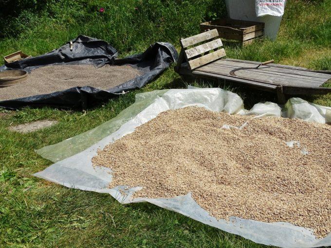 Céréales qui séchent au soleil