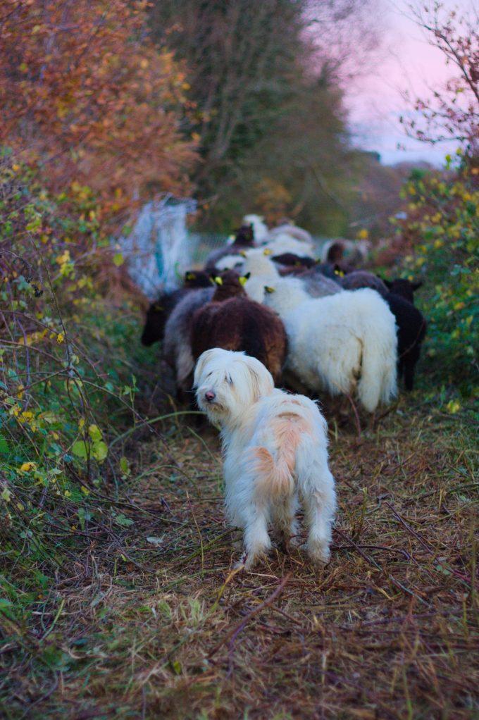 Saveurs des Champs - chèvres des fossés
