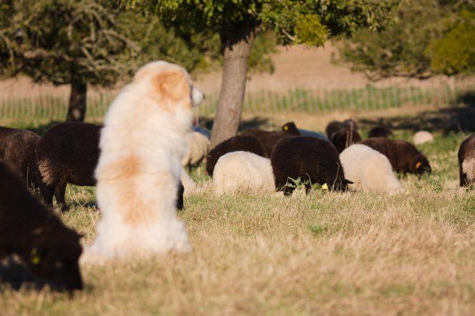 Saveurs des Champs - chien de berger