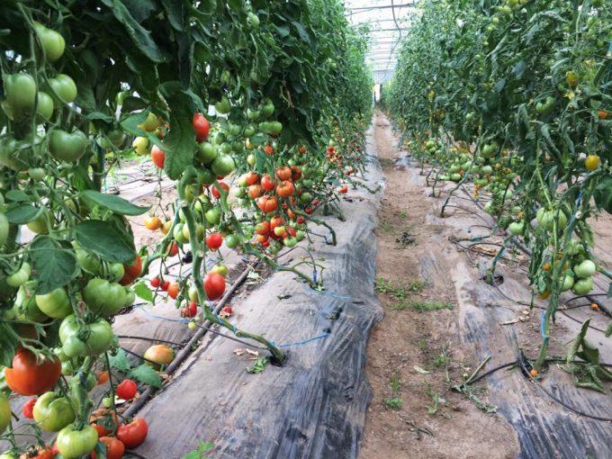 Tomates en pleine terre sous serres