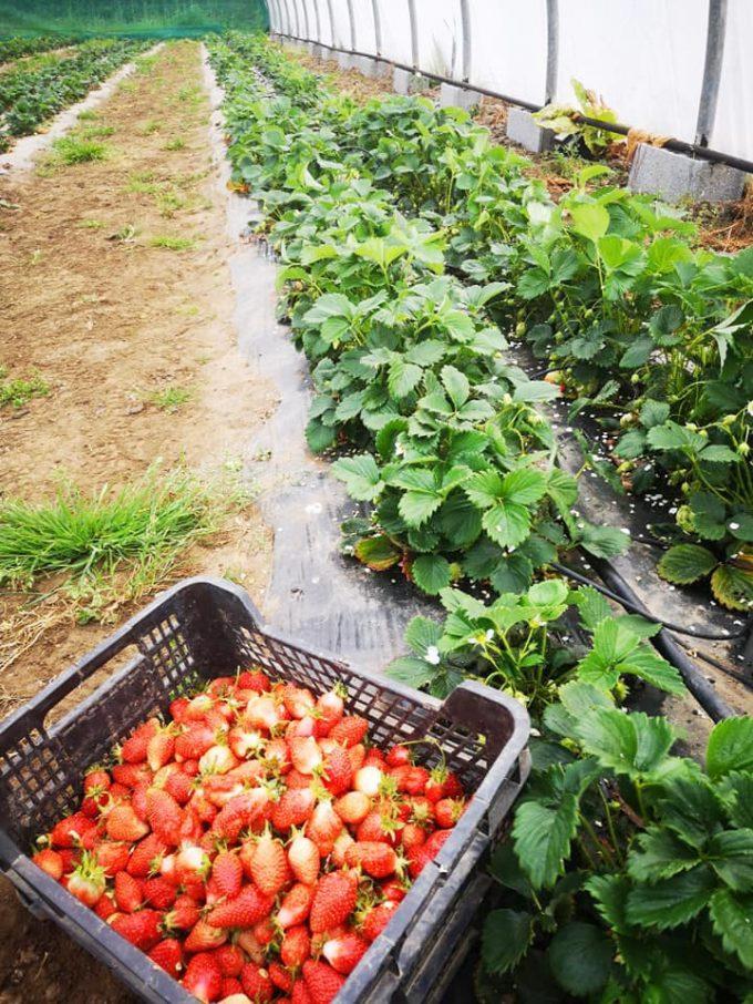 Cueillette de fraise